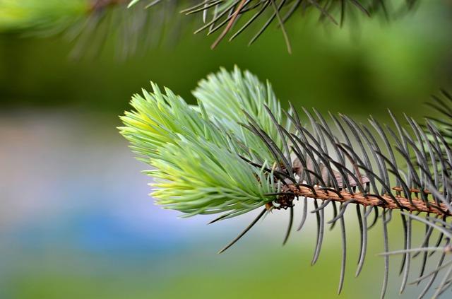 jehličnatá větev