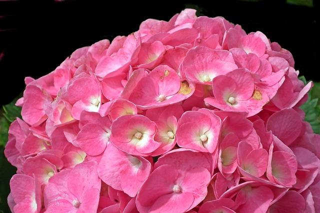 růžová hortenzie